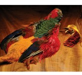 Golden Pheasant, Skin with Head less Tail